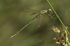 Lestes barbarus (Fabricius 1798). Macho. Male (Ricardo Menor) Tags: odonatos zygópteros caballitosdeldiablo dragonflies dragonfly airelibre iluminaciónnatural serraníadecuenca2017 libélulas macho male