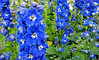 In the Blue Corner .... we have Delphiniums (Mary Faith.) Tags: delphinium blue garden