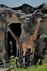 ✪シドニー動物園のキリンさんたち (m-miki) Tags: d610 nikon シドニー オーストラリア 動物園 キリン 動物