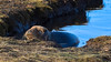 Just a Seal, Chillin' in a Pool (littlestschnauzer) Tags: seal chilling pool water chillin nature wildlife 2017 december donna nook animal colony seals lincs uk relaxed relaxing grey coast lincolnshire nikon d7200 beach reserve