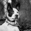 Chipper03Dec201729-Edit.jpg (fredstrobel) Tags: dogs pawsatanta phototype atlanta blackandwhite usa animals ga pets places pawsdogs decatur georgia unitedstates us