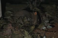 Common Wombat (Caleb McElrea) Tags: kanangraboyd kanangraboydnationalpark bluemountains worldheritagearea unesco greatdividingrange newsouthwales nsw australia nature wilderness