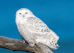 Snowy owl - Bubo scandiacus (Stoil Ivanov) Tags: snowyowl buboscandiacus illinoisbeachstatepark