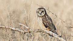 Short-eared Owl (Asio flammeus) (Tony Varela Photography) Tags: asioflammeus owl photographertonyvarela shortearedowl seow canon
