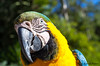 Macaw portrait (JOAO DE BARROS) Tags: macaw joão barros portrait bird