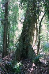 White Booyong (Argyrodendron trifoliolatum) (Poytr) Tags: subtropicalrainforest arfp nswrfp qrfp subtropicalarf corambanaturereserve malvaceae subtropicalarfp coffsharbour lowlandarfp nswaustralia tree forest rainforest wood whitebooyong argyrodendrontrifoliolatum argyrodendron planchonellaaustralis sapotaceae trunk lowlandarf