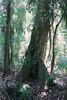White Booyong (Argyrodendron trifoliolatum) (Poytr) Tags: subtropicalrainforest arfp nswrfp qrfp subtropicalarf corambanaturereserve malvaceae subtropicalarfp coffsharbour lowlandarfp nswaustralia tree forest rainforest wood whitebooyong argyrodendrontrifoliolatum argyrodendron planchonellaaustralis sapotaceae trunk