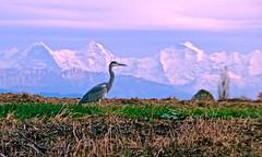 Grey heron on mice hunting (sylviafurrer) Tags: graureiher greyheron alpen alps twilight abendstimmung abendlicht rosa field feld