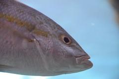 Hello (Bad Alley (Cat)) Tags: fish aquarium ripleysaquarium white underwater