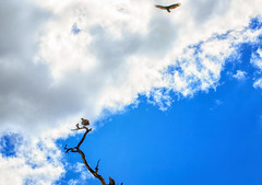 High Flyer (KPortin) Tags: birds bankslake tree clouds sky grantcounty