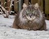 Now what ? (FocusPocus Photography) Tags: fynn fynnegan katze kater cat chat gato tier animal haustier pet winter schnee snow garten garden