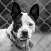 Chipper03Dec201720-Edit.jpg (fredstrobel) Tags: dogs pawsatanta phototype atlanta blackandwhite usa animals ga pets places pawsdogs decatur georgia unitedstates us