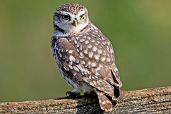 Little Owl (drbut) Tags: littleowl athenenoctua strigidae birdofprey nocturnal bird birds nature wildlife canonef500f4lisusm