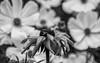 Last Performance (Shastajak) Tags: cosmosbipinnatus rudbeckia cosmos fly bokeh