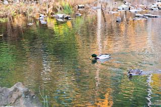 Autumn Duck Couple