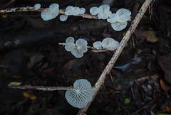 PA227148 Marasmiellus sp. (razor4343) Tags: marasmiellussp marasmiellus arffungi arfp qrfp tropicalarf whitearffungi myblock marasmiaceae