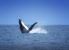 The Breach (Wajahat Mahmood) Tags: perth australia wa westernaustralia breach humpback whale splash nikond810 googlenik rotto rottnestisland migration downunder