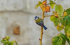 Mésange bleue surveille... (Crilion43) Tags: arbres région centre feuillesfeuillage véreaux paysages animaux mésanges villes