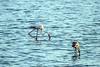 flamencos (ibzsierra) Tags: flamenco flamingo ave bird oiseau ibiza eivissa baleares canon 7d salinas parque natural 100400isusm