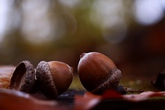 Fall's balls (annazelei) Tags: macro nature natural outdoor ball corp harvest fall autumn november dof depthoffield acorn nut cold woods wood brown canon eos scenery forest flora quercus dark flickrfriday flickr