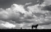 penny hill (Jen MacNeill) Tags: ladygrey film blackandwhite bnw equine mood horse horses twh hill clouds cloudy silhouette bigsky pa pennsylvania d76 ladygreylomographyfilm homeprocessed dramatic filmphotography jennifermacneill pentax k1000