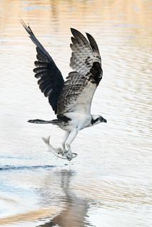 DSC_4352.jpg Osprey, San Lorenzo River, Santa Cruz