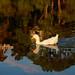 White Pekin Duck