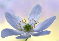 White mist (Trayc99) Tags: white flower floralart floral flowerphotography macro beautyinnature beautyinmacro beautiful anemone woodanemone