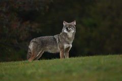 What's that smell? (Rob E Twoo) Tags: coyote wildlife nature eastern ontario canada toronto naturaleza outdoor explore