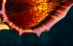 Nepenthes veitchii x lowii (Hejemoni (@fbauzonx on Instagram)) Tags: veitchii lowii nepenthes nativeexotics gardening carnivorousplants pitcherplants strobist lowkey colors 105mm horticulture lighting shadows
