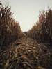 23600245_1545896355523414_1491541975_o (ihsantarikcelik) Tags: cornfield digital photography eskişehir turkey autumn nature