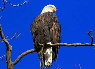 bald eagle at Decorah Fish Hatchery IA 854A7455