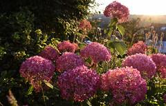 July in the Garden (Mark Wordy) Tags: mygarden hydrangea pink flowers sunset