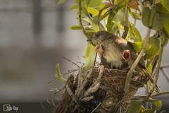 _MG_2679_Resize (Writer,Thai Photographer) Tags: นกปลอดสวน streakeared bulbul ความอบอุ่น ความรัก ความเข้มแข็ง ครอบครัว หัวใจ นก bird life cycle วงจรชีวิต