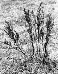 Winter Skeleton (2) (Man with Red Eyes) Tags: winter skeleton weed garden plant leicam2 zmbiogon35mmf2 berggerpancro400 divided modified d76h 16mins 5minsa5minsb 70f analog analogue blackwhite monochrome silverhalide sunnysixteen filmtest lancashire northwest v850