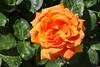 Maig_1465 (Joanbrebo) Tags: barcelona catalunya españa es park parque parc parccervantes garden jardí jardín flors flores flowers fleur fiori blumen blossom rosa rose canoneos70d eosd efs1855mmf3556isstm autofocus