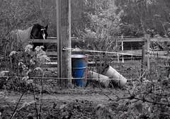 Abandoned. Nov 2017 (SimonHX100v) Tags: horse horses animal solitude solitary alone lonely depressed depression vacant blackandwhite blackwhite monochrome monotone greyscale grayscale bw bnw sepia coloursplash nottingham nottinghamshire suttoninashfield mansfield unitedkingdom uk england english greatbritain gb britain british eastmidlands simonhx100v sonydschx100v sonyhx100v hx100v sonycybershotdschx100v colorsplash selectivecolour selectivecolor outdoor outdoors outside
