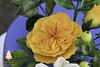 Flowers cake (Albena Bojidarova) Tags: david austin rose cosmos hypericum flowerscake gumpaste sugar flowers