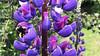 Lupino, Chocho o Altramuz (Lupinus angustifolius) / Dumestre / Chile (LeonCalquin (2)) Tags: flores silvestres wild flowers leon calquin fotos photos vincent carolina marcelo videos santiago chile flickr quincal huine huiñe aquelarre lago vichuquen diseño catalog catalogo senderismo hiking travel viaje nature endemica flora nativa naturaleza chilena chilenas especie especies nativas endemicas lupino lupinus polyphyllus chocho chochos altramuz angustifolius