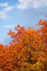Orange Leaves (MikeWeinhold) Tags: lowell massachusetts autumn foliage orange leaves