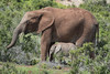 Addo (jbarc in BC) Tags: addoelephantpark elephant mum mother baby babe southafrica park conservation wildlife easterncape