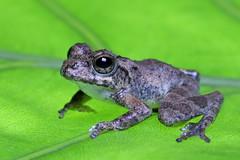 Buergeria otai (male) (Endemic of Taiwan) 太田樹蛙 / 太田氏樹蛙 (雄) (特有種) (YoyoFreelance) Tags: buergeria otai 太田樹蛙 太田氏樹蛙 endemicspecies endemic 特有種 台灣特有種 臺灣特有種 樹蛙
