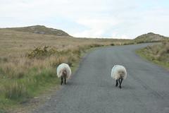 IMG_3299 (avsfan1321) Tags: ireland killaryfjord countygalway countymayo connemara wildatlanticway sheep