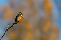 Automne (parman31) Tags: martinpêcheurdeurope alcedoatthis commonkingfisher coraciiformes alcédinidés