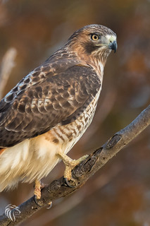 Red-tailed Hawk on the Hudson | 2017 - 8