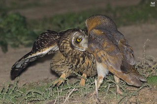 Coruja-das-torres, Barn Owl (Tyto alba) vs Coruja do Nabal, Short-eared Owl (Asio flammeus)