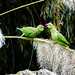 Ring-necked Parakeets 11-11-17