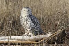 Snowy Owl / Harfang des neiges (shimmer5641) Tags: buboscandiacus snowyowl harfangdesneiges arcticbird owlsfamily birdsofbritishcolumbia birdsofnorthamerica