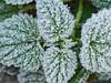 Frosted nettle (schauplatz) Tags: brennessel deutschland eiskristalle germany makro nahaufnahme stuttgartvaihingen closeup foliage frost icecrystal leaves macro stingingnettle