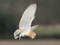 Barn Owl - Tyto alba (normanwest4tography) Tags: barnowl